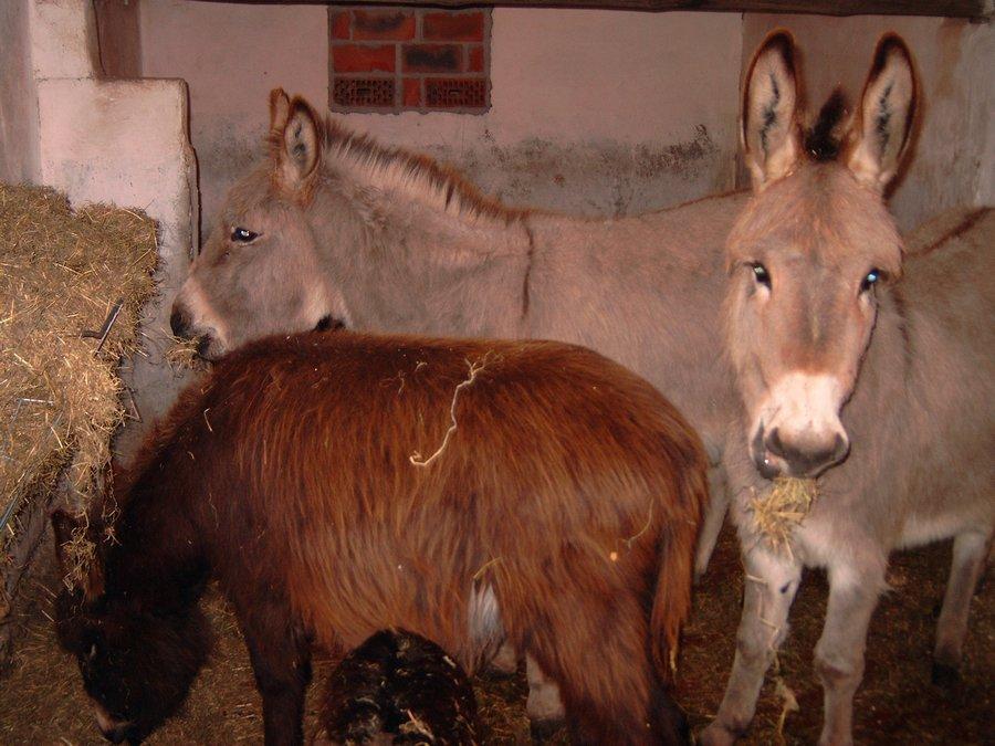 hooiruif ezels