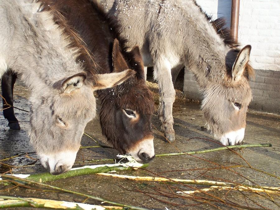 ezels wilgentakken