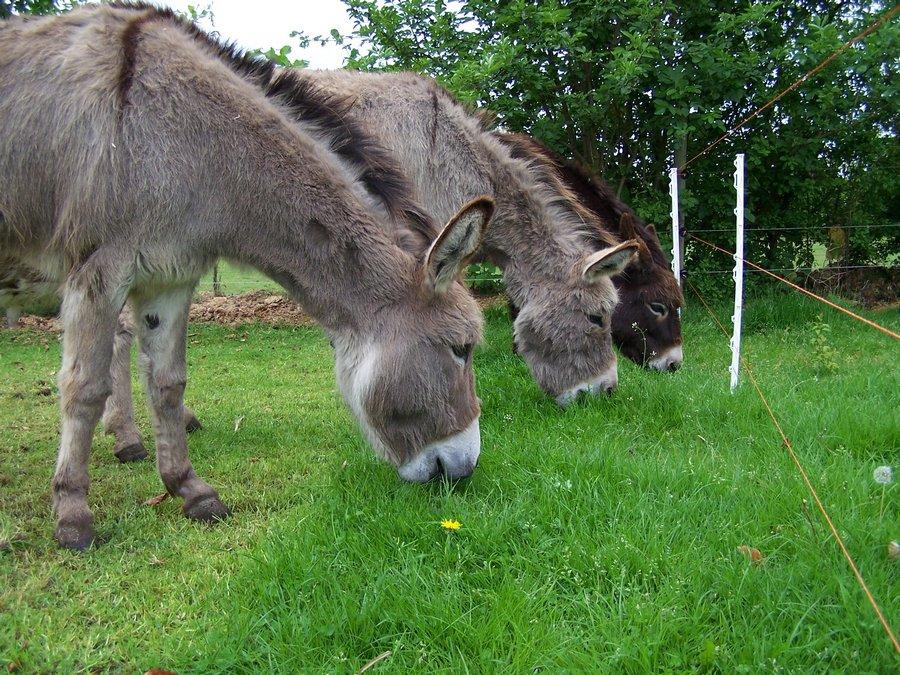ezels grazen een stuk vers gras in de weide