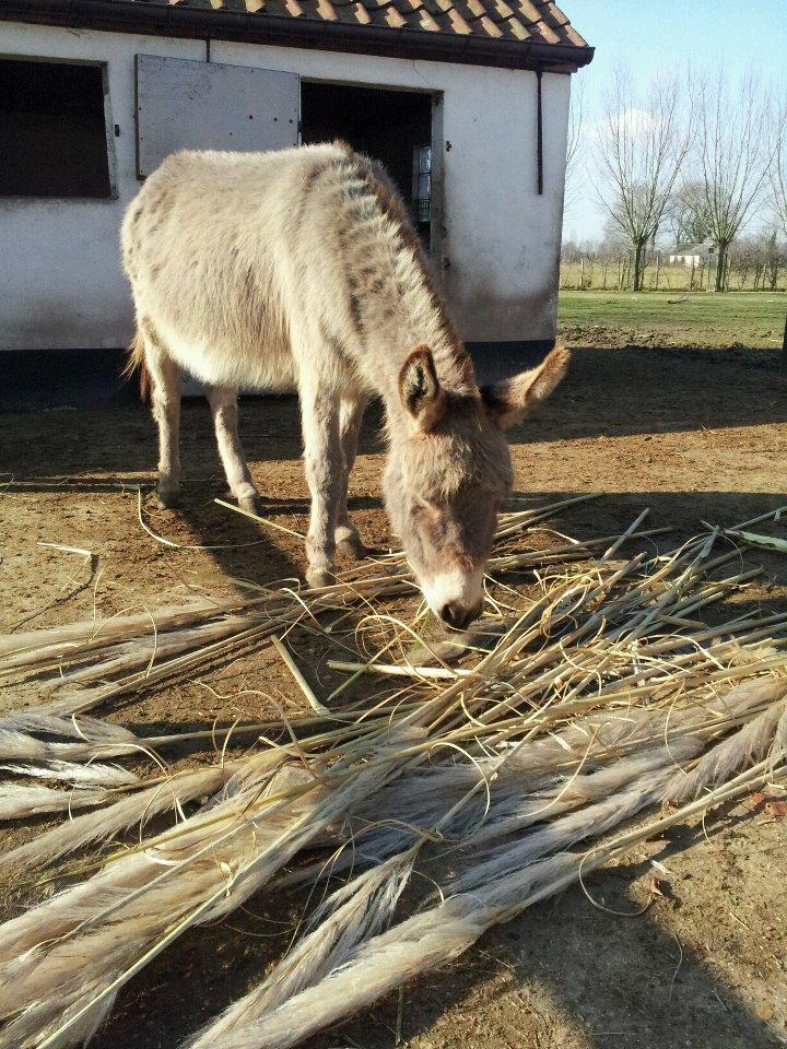 gesnoeid pampasgras voor de ezels