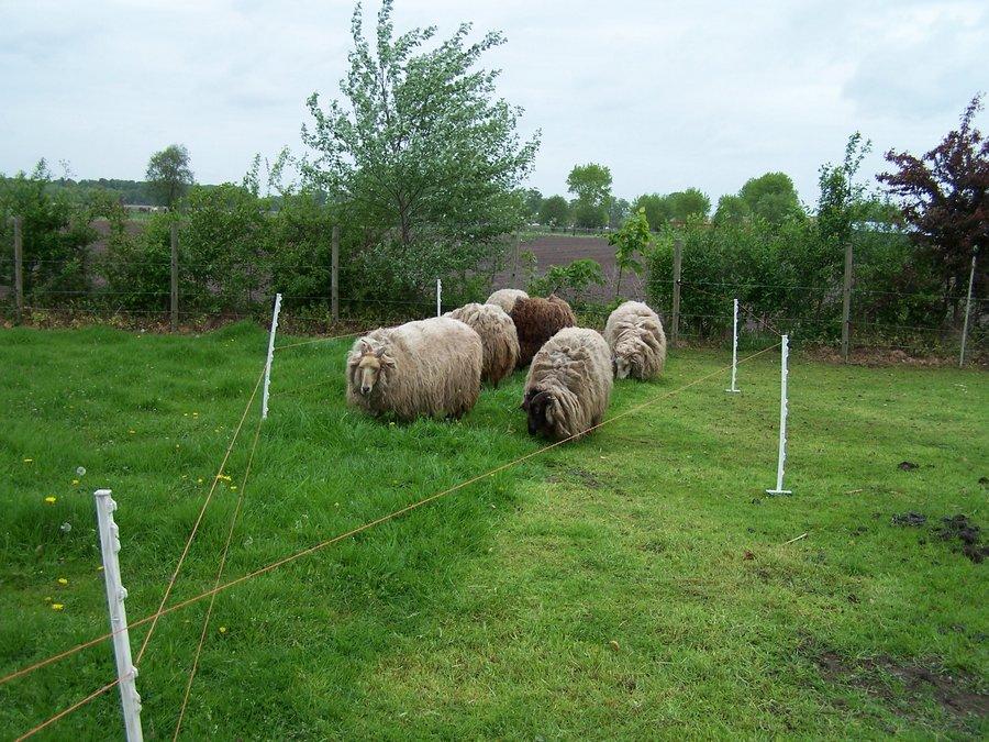de schapen kunnen iets verder grazen dan de ezels